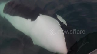 Fishermen have close encounter with orcas - Video