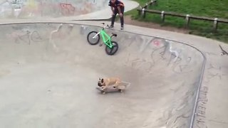 Skateboarding French Bulldog shows off impressive moves - Video