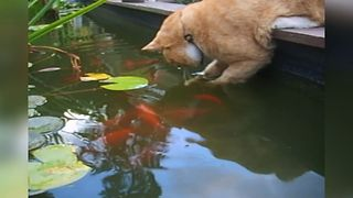 Curious Cat Makes Friends With Fish