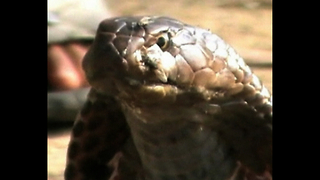 Man Looks After 200 Snakes - Video