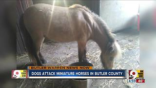 Dogs attack, kill miniature horses in Butler County - Video
