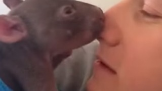 Orphaned Baby Wombat Enjoys Cuddles with his Carer - Video