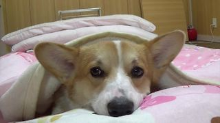 Nothing is as precious as this sleepy Corgi - Video