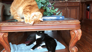 Funny cute cat brothers playing together through glass table