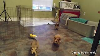 What happens when puppies find their voices? - Video