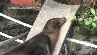 Lazy Sea Lions Flop onto Lawn Chairs for a Nap - Video