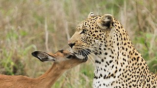 Leopard 'Befriends' Impala: Unusual Predator - Prey Interaction Caught On Camera - Video