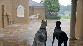 Two Great Danes watch the Florida rain storm