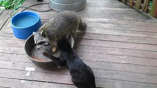 Grumpy cat scolds raccoon for stealing cat food - Video
