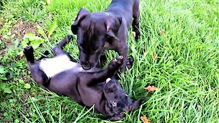 Playful Great Dane puppies are the cutest things ever!