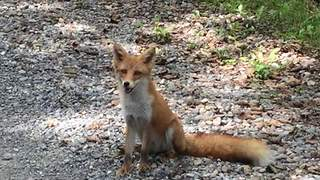 Friendly wild fox smiles for the camera - Video