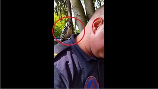Woodpecker confuses human man for tree - Video