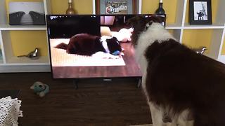 Dog sees himself on TV, completely freaks out