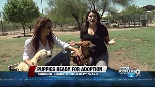 Paralyzed pups ready for adoption - Video