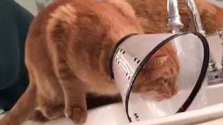 Sweet Cat Tries To Drink From The Tap, Forgets About His Neck Cone - Video