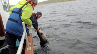 Dramatic Seal Rescue Attempt From Lobster Line Around Neck Almost Results In Choking - Video
