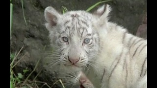 Newborn White Bengal Tiger Cubs