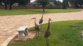 Strolling Sandhill Cranes come for a closeup and purr - Video
