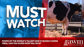 Photo Of The World's Tallest Cow Is Quickly Going Viral, Can You Guess How Tall He Is? - Video