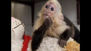 Justin Bieber Loses Pet Monkey - Video