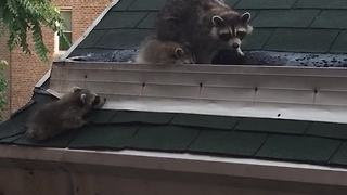 Raccoon family in Brooklyn explore the neighborhood
