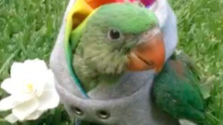 Stylish parrot rocks her new hoodie - Video