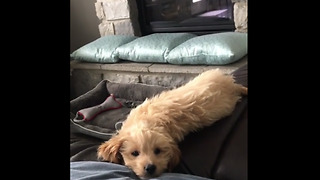 Puppy adorably falls off the couch