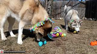 Huskies go on epic Easter egg hunt - Video
