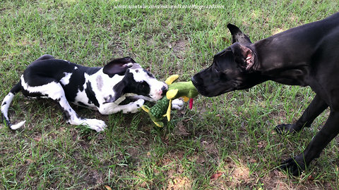 Great Danes love their stuffed alligator toy