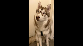 Husky is guilty so funny