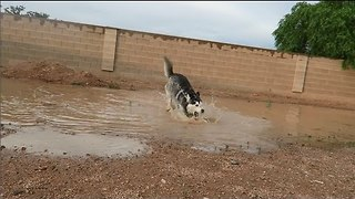Husky Delights in Giant Puddle - Video
