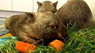 Far Too Hot for Wombats to Bother Getting Up for Breakfast - Video