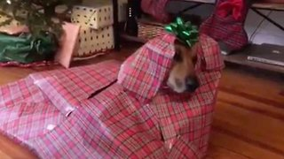 Merry paw-mas! Hilarious moment owner wraps pooch into perfect christmas gift