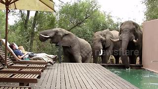 Tourists Freeze By Pool As Wild Elephants Drop In For A Drink - Video