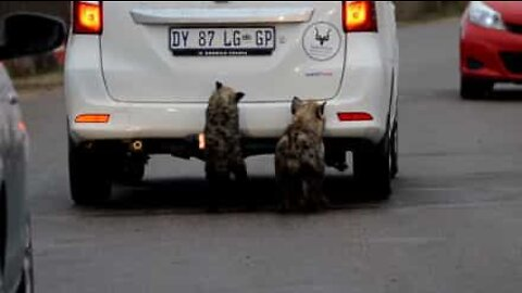 Hyenas want to eat car