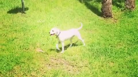 Excited puppy has zoomie episode on camera