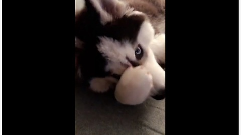 Vocal husky puppy talks back to owner