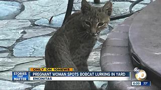 Pregnant Encinitas woman spots bobcat lurking in yard - Video