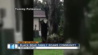 Bear family caught on camera in North Naples neighborhood - Video