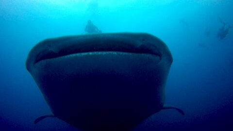 Gigantic whale sharks cruise right through group of scuba divers