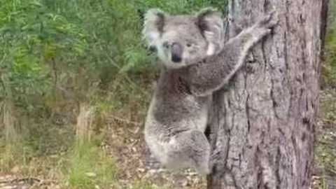 Adorable Koala Picks Her Own Tree to Climb Upon Release