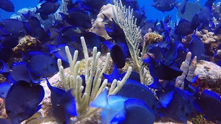 Incredibly beautiful blue tangs are extremely poisonous - Video