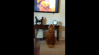 This is what happens when a golden retriever hears puppies crying on TV - Video