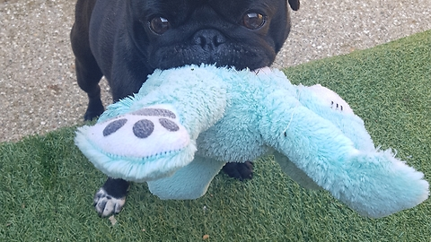 Pug takes favorite toy with him for walk