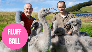 Adorable flock of baby flamingos being hand-reared in Scotland and fed with a syringe