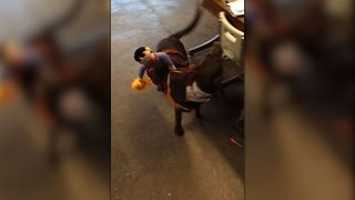 Puppy Chases The Cowboy On His Halloween Costume - Video