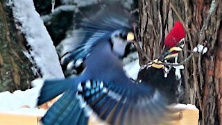 Gigantic woodpecker gets respect at the feeder from blue jays