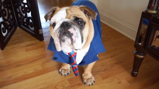English Bulldog creates online dating profile - Video