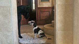 Great Dane Introduces Puppy To Talkative Cat