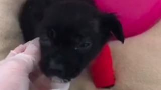 Tiny 4-Week-Old Puppy Fights for Life After Being Abandoned - Video